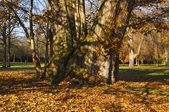 Alte Esskastanie (KaAuenwasser) Tags: herbst herbstlich baum stamm laub blätter holz alt mächtig karlsruhe schlosspark schlossgarten garten park farben licht schatten november 2019