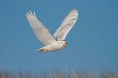 Snowy Owl (eBird.org) Tags: ebird birds flight ebirding snowy owl conservation citizen science