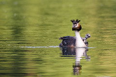 Beautiful specimen of female of great crested grebe carrying her little chick on the back (Brambilla Simone Fotografo) Tags: animal animale animales animali animals baby back background bavaria beautiful bird chick colorful crested cristatus cute esterni europe family fauna female germany great grebe green italy lake life munich natura naturalistic naturalistica nature outdoor parent peaceful podiceps reflection river selvaggia small spring surface swim vita water waterbird wild wildlife young villadadda lombardia italia