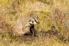 Time to take a look (ChicagoBob46) Tags: badger yellowstone yellowstonenationalpark nature wildlife coth5 ngc naturethroughthelens npc