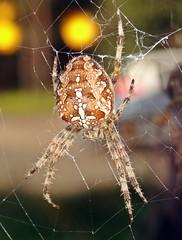 Spider (Lostash) Tags: nature life autumn2019 spiders gardenspiders arachnids macro web webs