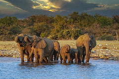 Late Afternoon At The Waterhole. (gecko47) Tags: animals mammals elephants africanelephants loxodontaafricana familygroup clan matriarch calves waterhole herbivore namibia etoshanationalpark afternoonlight luminar4