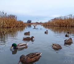 Ducks on Approach (Ingrid Taylar) Tags: ducks mallards approach fly swim reifelbirdsanctuary britishcolumbia sanctuary birds wildlife canada winter marsh overcast sky
