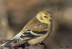 Chardonneret - American Goldfinch (Lucie.Pepin1) Tags: oiseaux birds chardonneret goldfinch nature wildlife faune fauna luciepepin canon7dmarkii canon300mml