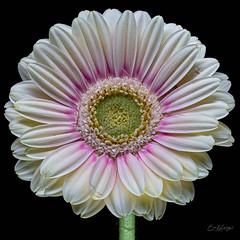 (music2fish2 (eric lanning)) Tags: gerberadaisy flower bloom petals flowerscolors