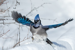 Dashing through the Snow (NicoleW0000) Tags: bluejay jay bird snow winter blue colourful wings action wildlife nature photography ontario