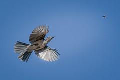 On the Hunt (alicecahill) Tags: jay california usa wild wildlife ©alicecahill bird pinnaclesnationalpark scrubjay nationalpark sanbenitocounty animal