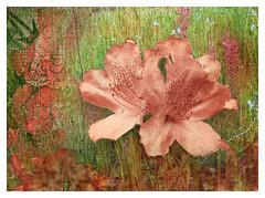 Azalea (kinglear55) Tags: flower azalea texture montage olympusom2n adobe elements modified art photography