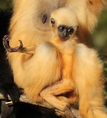 yellowcheeked gibbon artis BB2A2119 (j.a.kok) Tags: animal artis aap asia azie ape mammal monkey mensaap motherandchild moederenkind primate primaat zoogdier dier gibbon goudwanggibbon yellowcheekedgibbon
