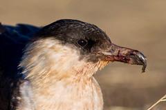 Pomarine Skua (birdsandwildlife06) Tags: birds lincolnshire nature wildlife birding birders birdwatching naturephotography birdphotography uknature wildlifephotography ukbirds birdingphotography ukbirding