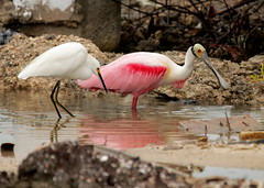 Roseate spoonbill & snowy egret (xd_travel) Tags: belize 2014 canonslr wadingbird ambergriscaye sanpedro roseatespoonbill egret snowyegret