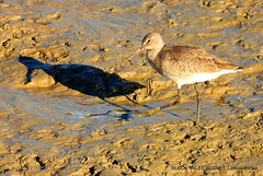 Black-tailed Godwit: Limosa limosa islandica (pete. #hwcp) Tags: hythelagoon duck nikonp1000 tit wader wickedweasel winter blacktailed godwit limosa islandica
