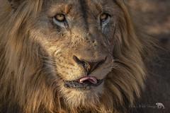 That Looks Tasty (PamsWildImages) Tags: lion africa wildlife wildlifephotographer nature naturephotographer canon pamswildimages