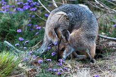 Contorting for Food (armct) Tags: macropusrufogriseus wallaby rednecked kangaroo marsupial australia queensland bunyamountains bunyas semitropical rainforest verbena fur texture bush forest parched drought furry mammal native indigenous