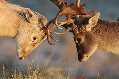 The Stare (andy_AHG) Tags: wildlife winter stag fallowdeerbuck antlers animals nikond300s yorkshire rutting