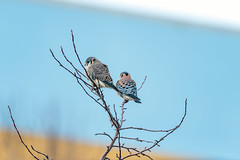 AmericanKestrels (jmishefske) Tags: lakeshore d850 nikon american lakefront milwaukee shore hunting wisconsin bird december downtown park kestrel 2019 county lakemichigan