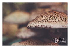 It realy itches (Bob Geilings) Tags: mushroom eekhoorntjesbrood nature fungi autumn forest macro bokeh background november paddenstoel