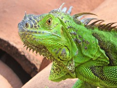 Curious (knightbefore_99) Tags: mexico mexican rincon guayabitos nayarit tropical iguana reptile fauna cool awesome green verde vert lizard fantastic curious roof decameron best
