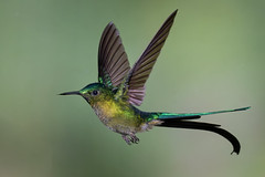 Violet-tailed sylph (Eric Gofreed) Tags: aglaiocercuscoelestis ecuador guangolodge hummingbird multiflashphotography violettailedsylph hat