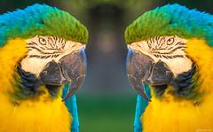 My Double (Ken Mickel) Tags: animals artistic birds blueandgoldmacaw fineart headnshot kenmickelphotography macaw parrot zoo mirrorimage nature photography photoshop