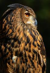 Eurasian Eagle Owl (Explored) (dianne_stankiewicz) Tags: nature wildlife bird owl raptor outdoors eurasianeagleowl