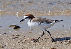 Red-capped Plover - (Charadrius ruficapillus) (tregotha1) Tags: point walter