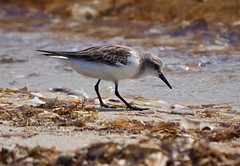 Shorebirds & Waders - Stint - Red-necked (tregotha1) Tags: point walter