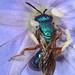 Sweat Bee - Augochlora pura mosieri?, John Pennekamp Coral Reef State Park, Key Largo, Florida