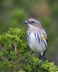 With berry (v4vodka) Tags: bird birding birdwatching animal wildlife nature longisland newyork warbler yellowrumpedwarbler setophagacoronata kronwaldsänger lasowkapstra songbird