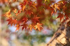 maple leaves (Christine_S.) Tags: japan nature outdoors park canoneosm5 bright colors colorful sunlight sunshine sunny bokeh ef100mmf28lmacro shadows japanesemaple tree autumn fall foliage ngc npc naturethroughthelens