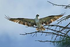 20190614D8E_2136FLR (cisco42) Tags: bc britishcolumbia canada osprey greenlakeprovincialpark bird tree