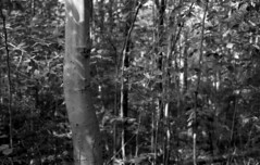 Birch (bingley0522) Tags: leicaiiic voigtlanderheliar75mmf25 fp4 ilfordfp4 diafine epsonv500scanner birch castlerocktrail bluemountainlake adirondacks easternhardwoodforest newyork autaut
