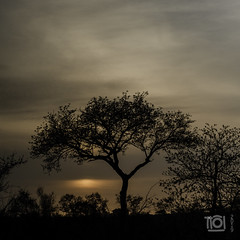 Cloudy sunrise at Talamati (Paul Perton) Tags: fuji krugerpark southafrica talamati xpro2 zeiss35mmf14distagon bush morning shadow silhouette sky sunrise tree veldt