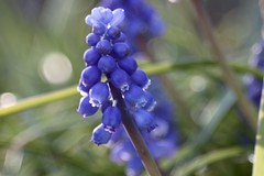 Muscari       Boyer Paris Beryl   1 :  6.8   F = 180 (情事針寸II) Tags: flower macro nature bokeh oldlens boyerparisberyl168f180 light macrodreams