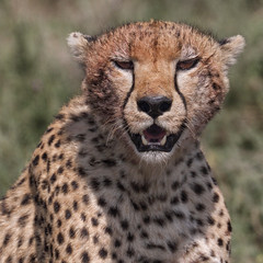 International Cheetah Day - December 4th, 2019 (AnyMotion) Tags: internationalcheetahday savethecheetah cheetah gepard acinonyxjubatus cat katze portrait porträt 2018 anymotion ndutu ngorongoroconservationarea tanzania tansania africa afrika travel reisen animal animals tiere nature natur wildlife 7d2 canoneos7dmarkii square 1600x1600 portraitaufnahmen ngc npc