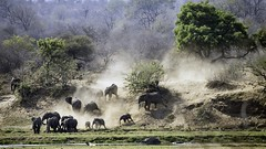 stampede (Adam John Evans Photo) Tags: nikon safari wildlife nature southafrica kruger elephants animals