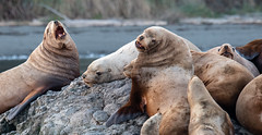 Discord (TW Olympia) Tags: sea lions port townsend