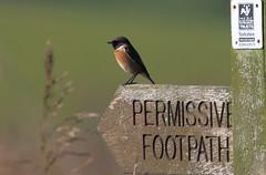 Stonechat,  Saxicola torquatus (michael.smith86) Tags: canoneos7dmarkii stonechat saxicolatorquatus flamborough east yorkshire bird birdphotography footpath permissive 100400mm11
