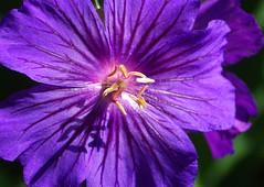 Geranium Nunwood Purple (Hottentotfig) Tags: ngc npc