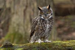 Just come a little bit closer... (Earl Reinink) Tags: eyes bird owl predator greathornedowl earlreinink idddtduaea
