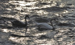 Photo of Mute Swan and Cygnet