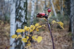 Die letzten Hagebutten (Sockenhummel) Tags: ausflug flickr flickrausflug mauerstreifen berlin birkenwald wedding wald herbst vergänglich ikebana hagebutten früchte bäume baumstämme fall sony rx100m4