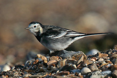 PIED WAGTAIL // MOTACILLA ALBA YARRELLII (18cm) (tom webzell) Tags: naturethroughthelens