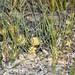 Petrophile juncifolia