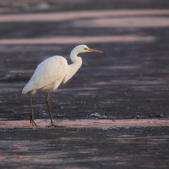volavka (Jaromír Soukup) Tags: volavka ptáci aves birdwatching birds oiseaux southbohemia naturephoto czechnature