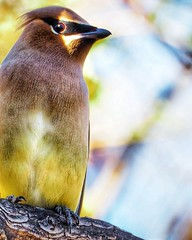 Cedar Waxwing on our neighborhood creek... #birdsofinstagram #birds #birder #cedarwaxwing #berrydrunk #olympusphotography #olympus #em10markii #75300mm #bandit (vrot01) Tags: birder berrydrunk olympusphotography bandit cedarwaxwing olympus 75300mm em10markii birdsofinstagram birds
