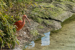Red Ibis near the water (Brambilla Simone Fotografo) Tags: africa america american animal background beak beautiful beauty bill bird blue closeup color colorful environment eudocimus exotic eye fauna feather feathers florida green head ibis lake long national nature outdoors park pink plumage portrait red scarlet south standing stork swamp tree tropical wading water wetland white wild wildlife wing zoo