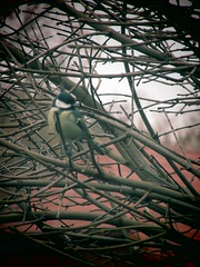 im Geäst (hussi48) Tags: meise vogle baum natur winter äste tree nature