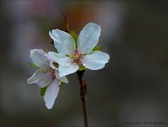 Unless I accept my faults.... (itucker, thanks for 5+ million views!) Tags: macro bokeh hbw prunus cherry blossom cherryblossom weepingfujicherry fujicherry shikizaki raulstonarboretum drops raindrops