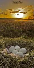 Canada Goose Nest Sunset (franklin331) Tags: 21aspect 5eggs anatidae anseriformes big blissranch blissdinosaurranch blissphotographics branta canada canadensis chordata clouds clutch down eggs feathers frankbliss franklinbliss franklinebliss goose gooseegg grass marsh nest ranch sonyalpha sunset wetland wetlands